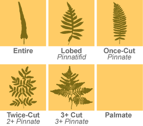 Fern Frond Divisions